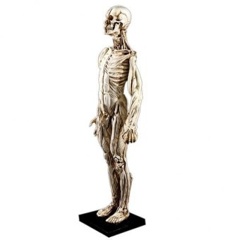 BolehDeals Removeable Resin Man Human Anatomy Skeleton Muscle ModelFull Body White - intl